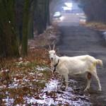 Podkowa Leśna - Koza - element fauny