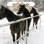 Podkowa Leśna - Konie