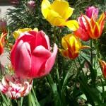 Podkowa Leśna - tulipany